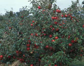 Honeycrisp Trees